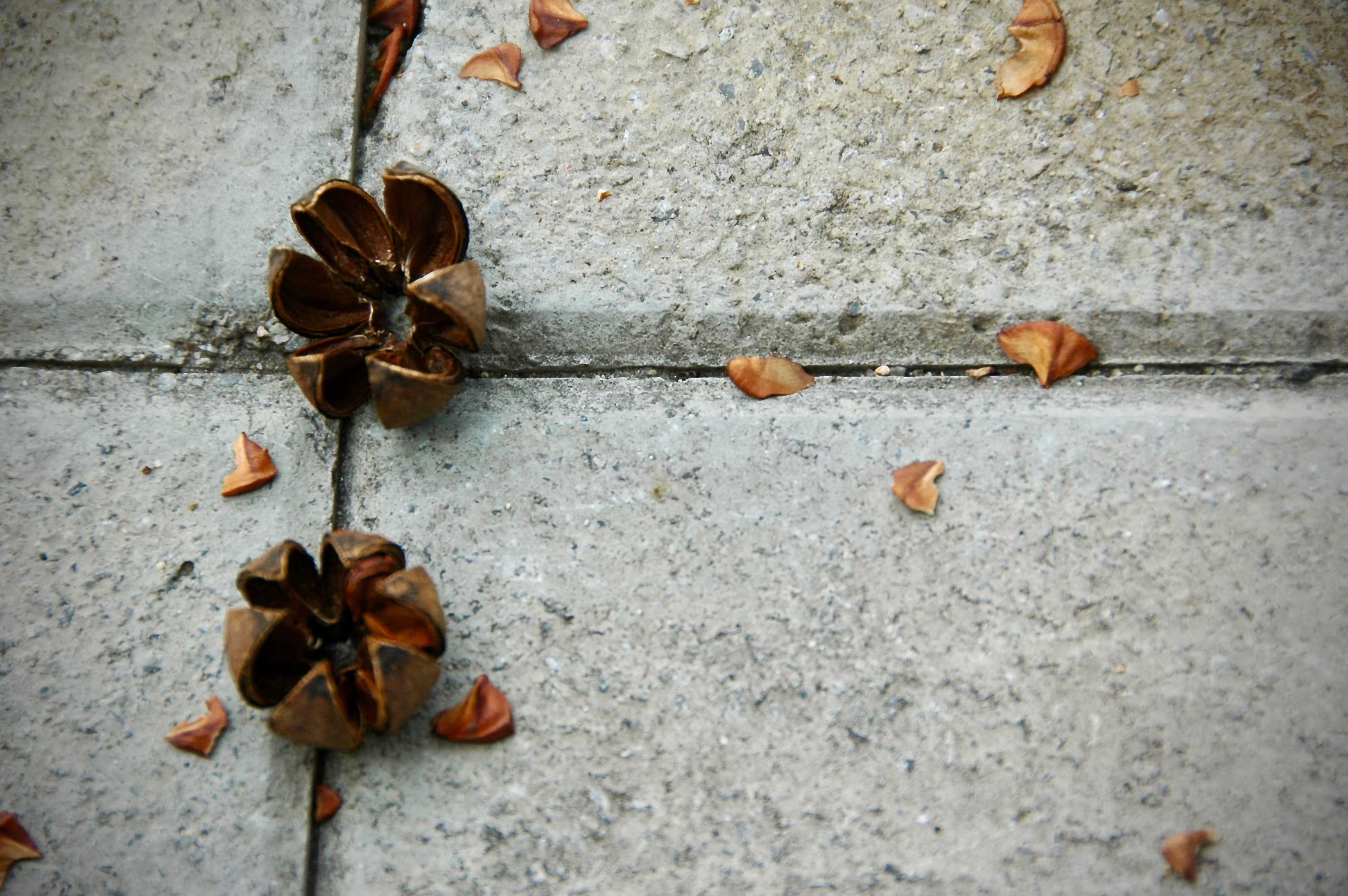 two brown nut shells on pavement