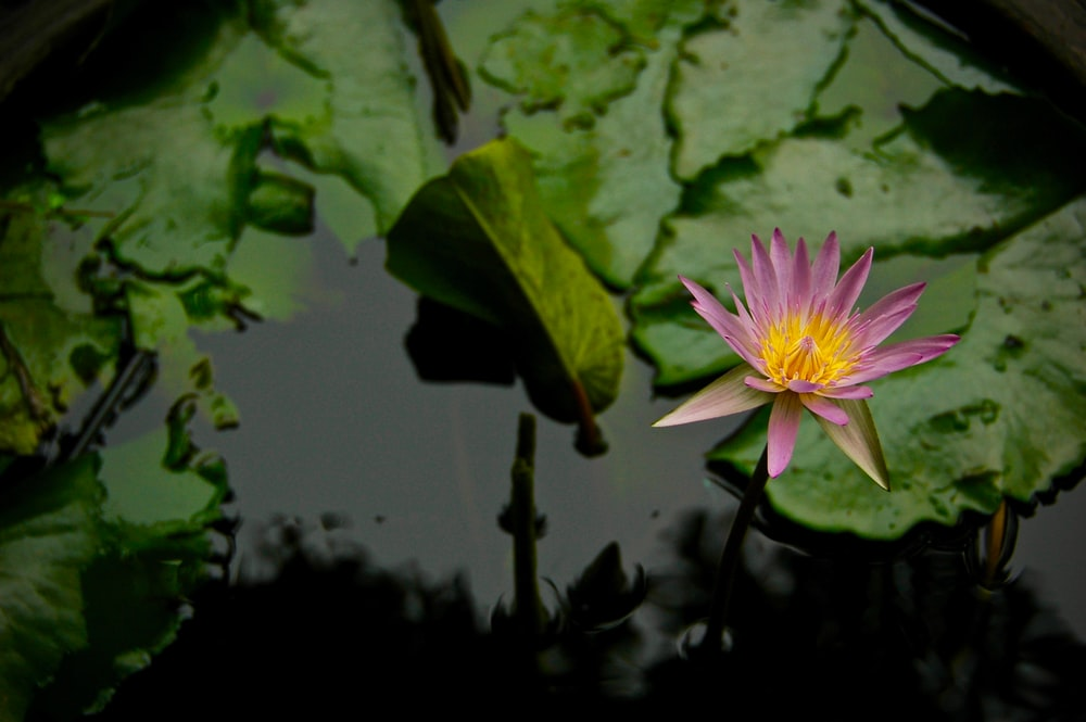 pink lotus flower on calm body of water