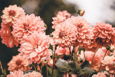 selective focus of pink flower in bloom