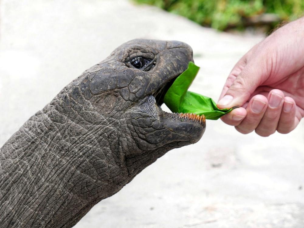 person feeding gray tortoise during daytime