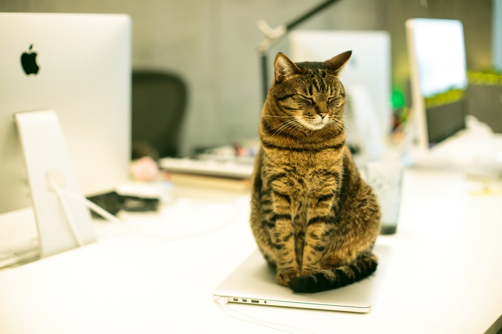 brown tabby cat on laptop computer