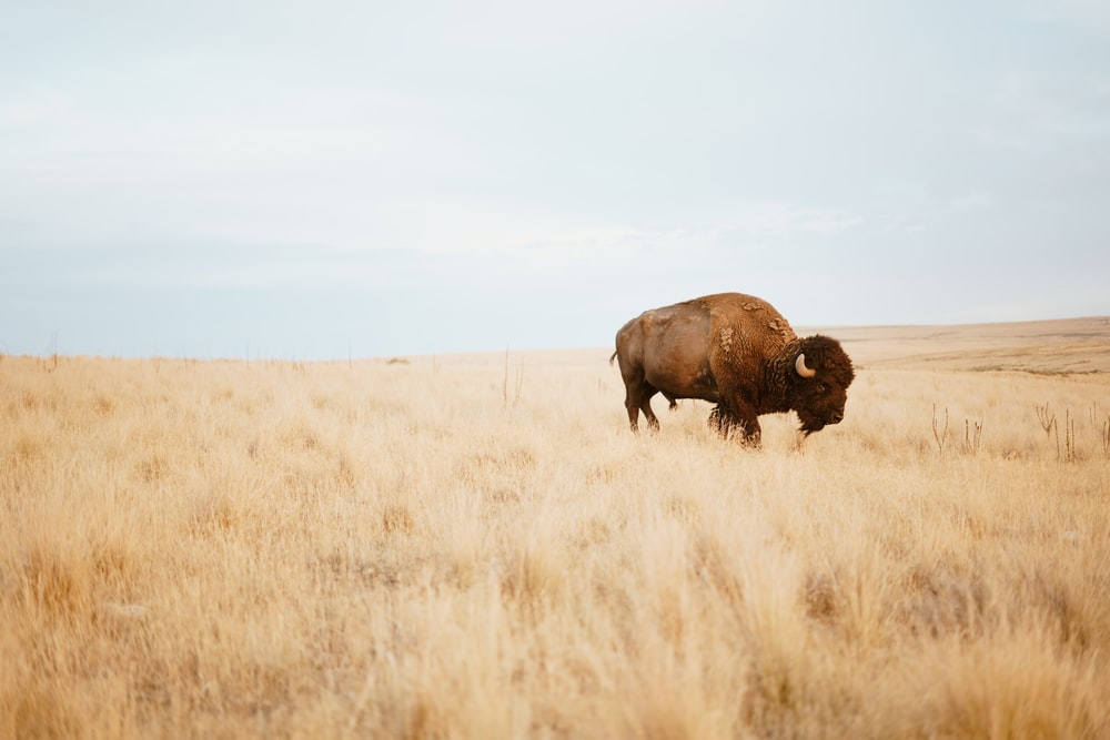 brown yak on brown grass field during day