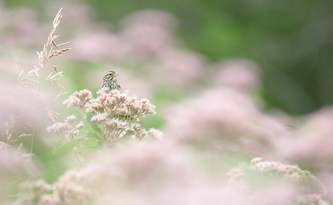 Blossomed Savannah Sparrow
