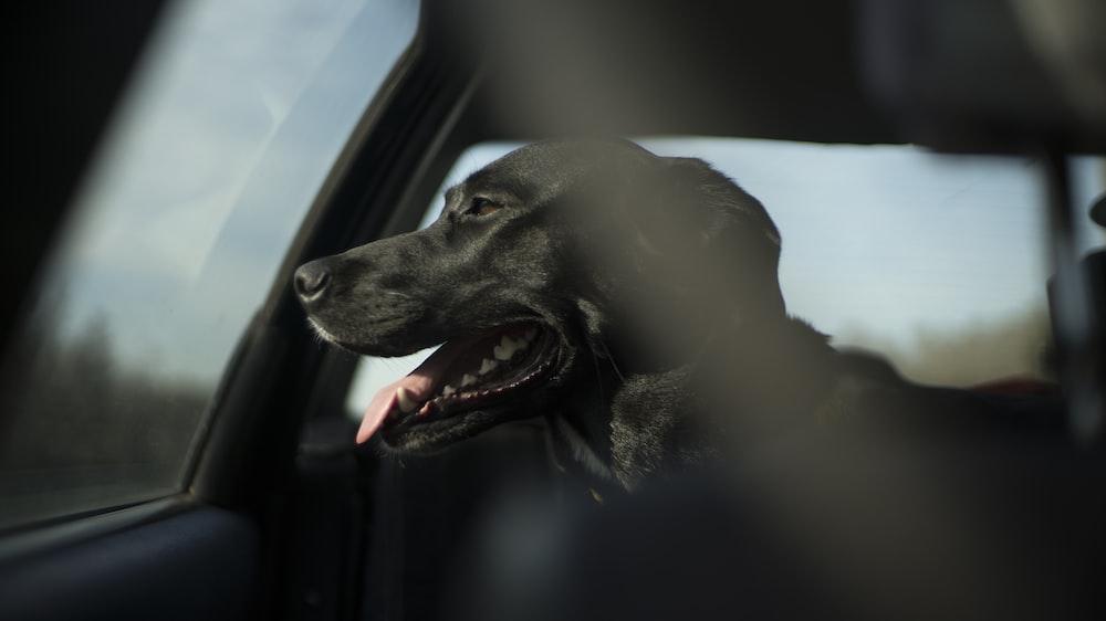 short-coated black dog in car