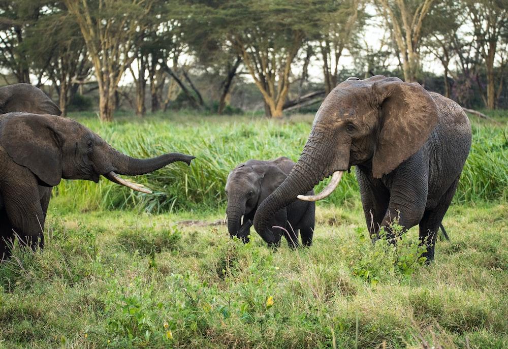three elephants walking on green grass field during daytime
