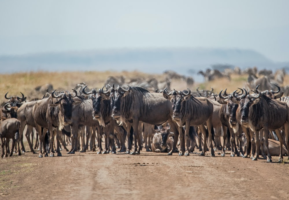 herd of cattle standing on brown ground during daytime