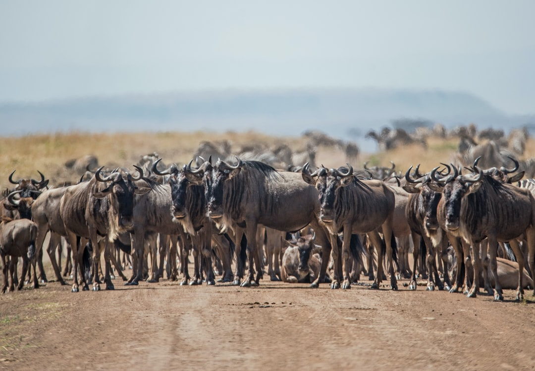 A herd of wildebeest blocks the road in the Mara triangle, Kenya.