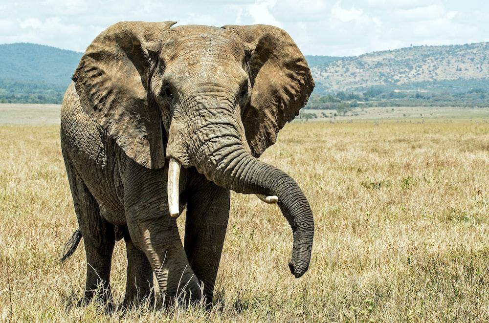 gray elephant on brown grass field