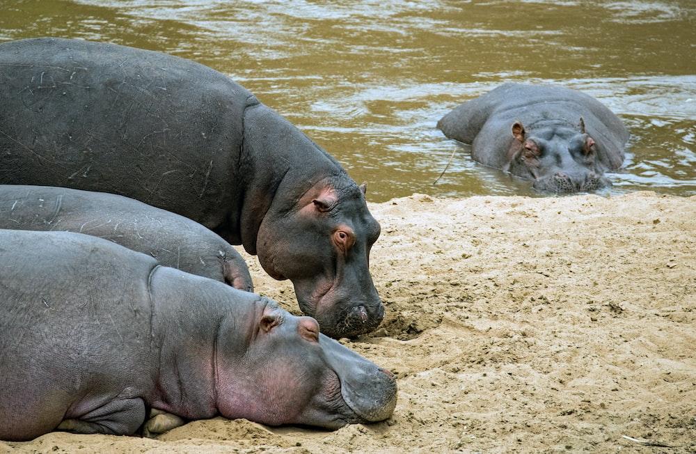 hippopotamus on brown sand during daytime