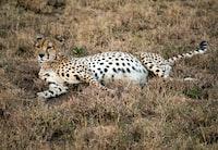 cheetah lying on brown grass