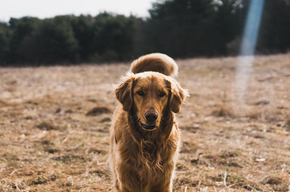 adult golden retriever on grass field on focus photo