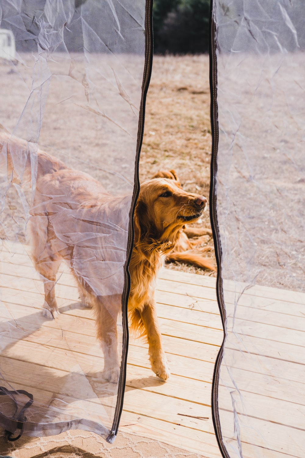 adult Golden Retriever outside mosquito net during daytime