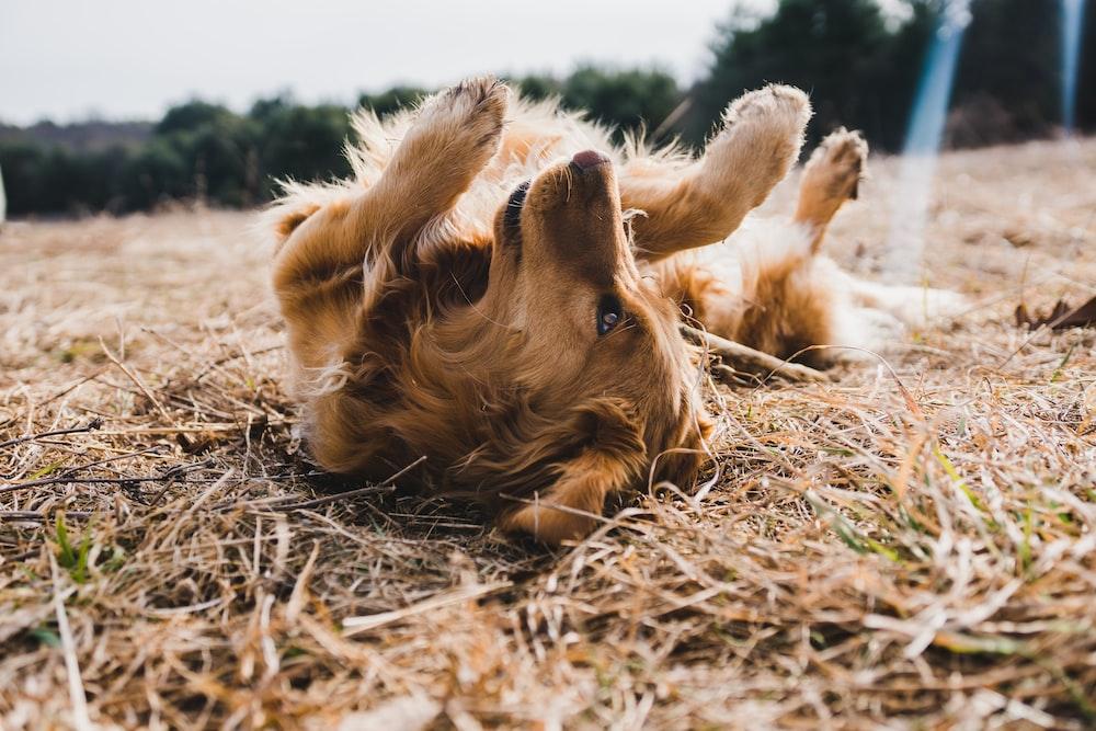 adult gold golden retriever lying on floor