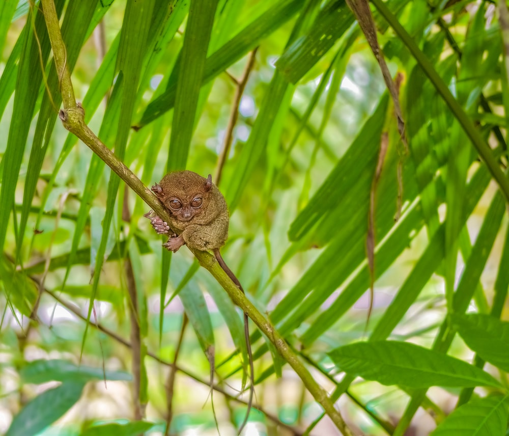 brown tarsier perched on branch