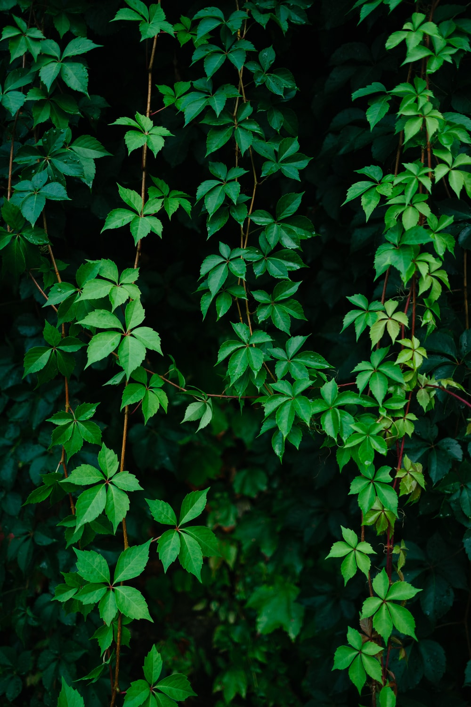 green leafed vine plant