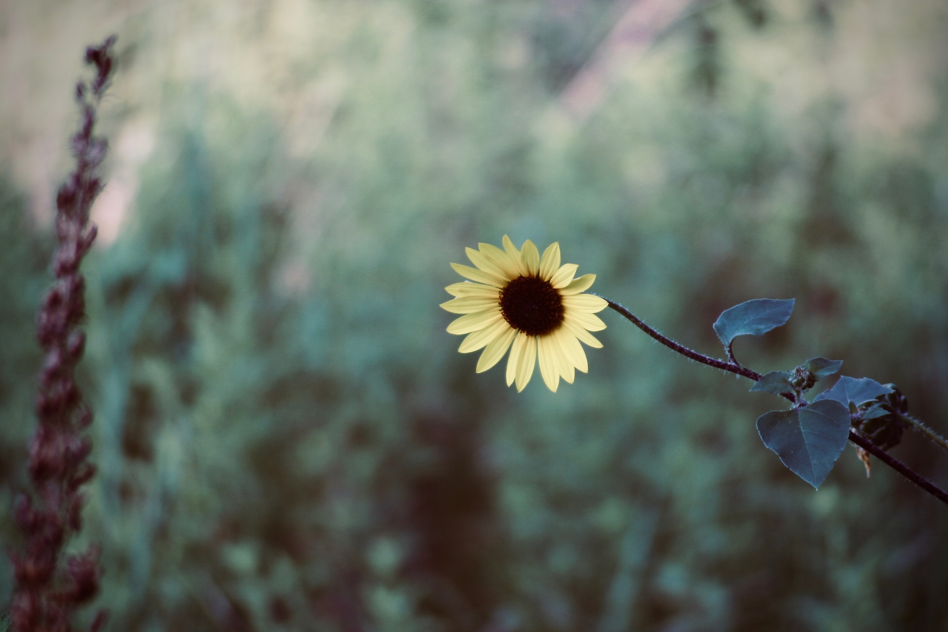 black-eyed Susan flower at bloom