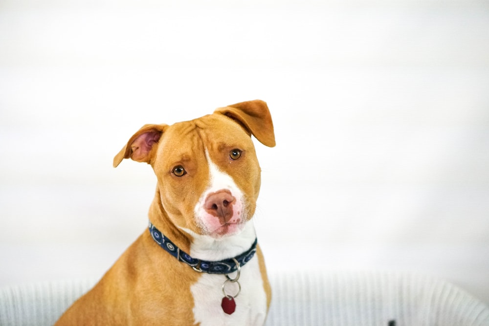 brown and white American Pit Bull Terrier puppy