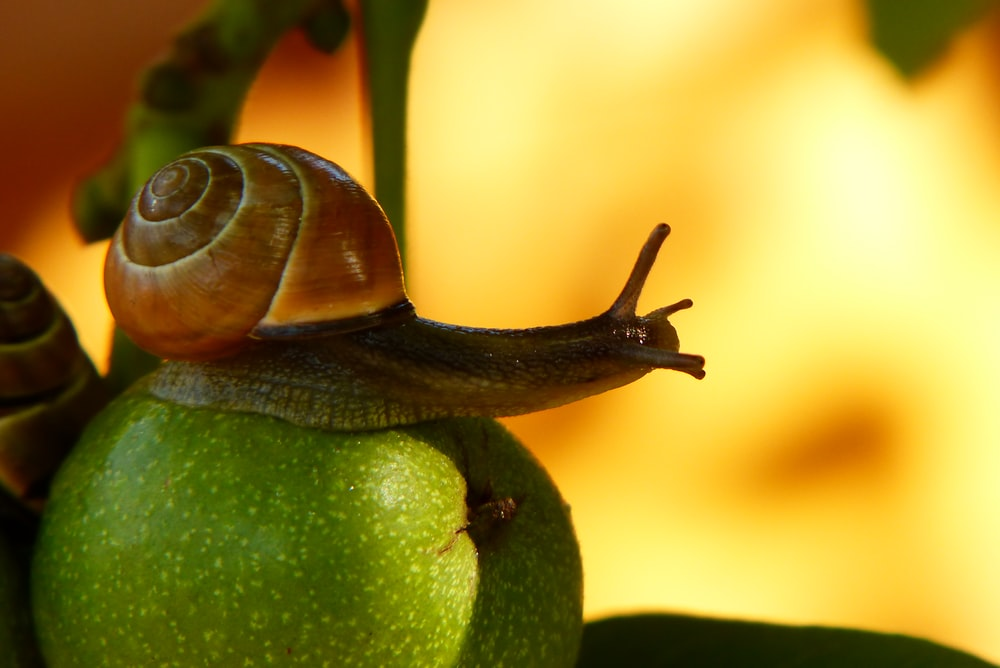 brown snail on green fruit