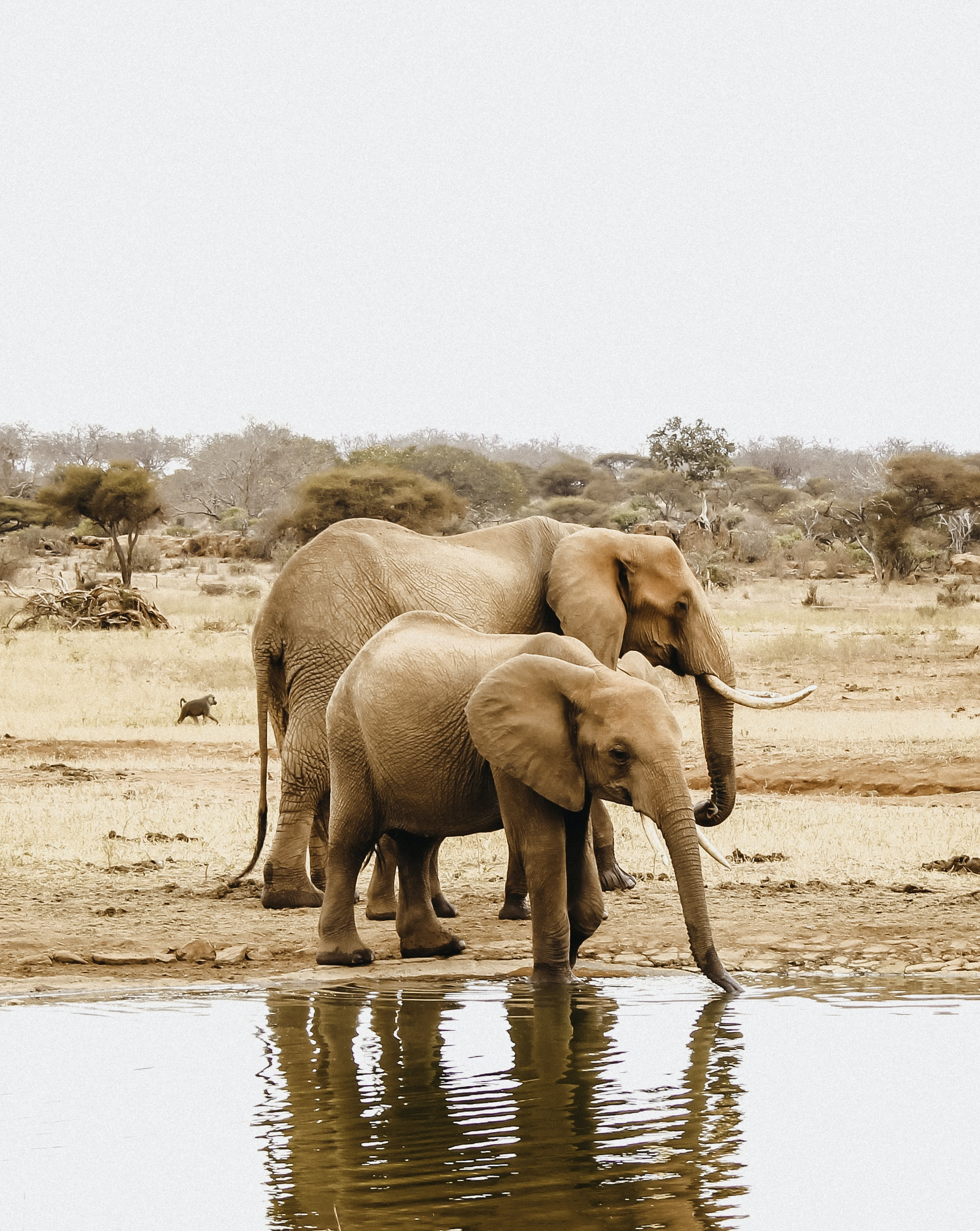 two elephants beside body of water
