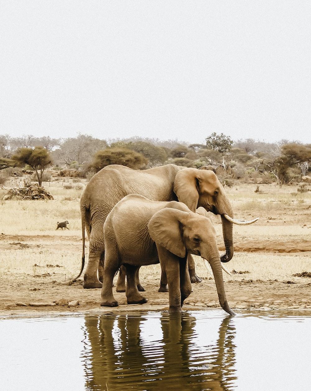 two elephants beside body of water