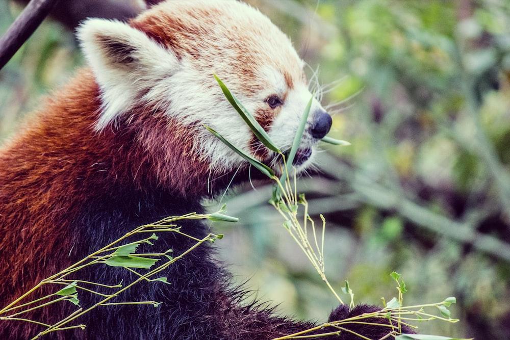 red panda during daytime