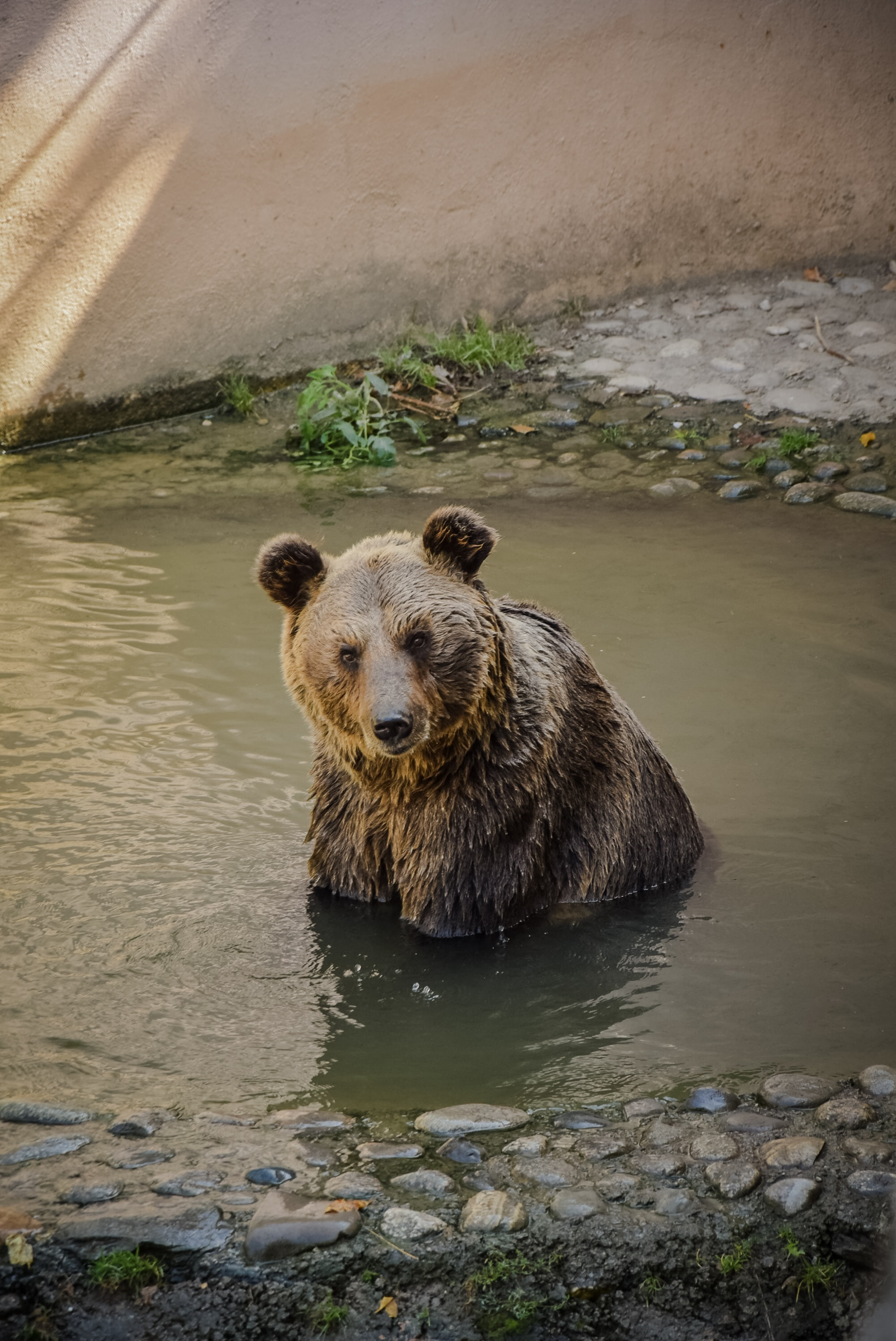 brown bear soaking on body of water