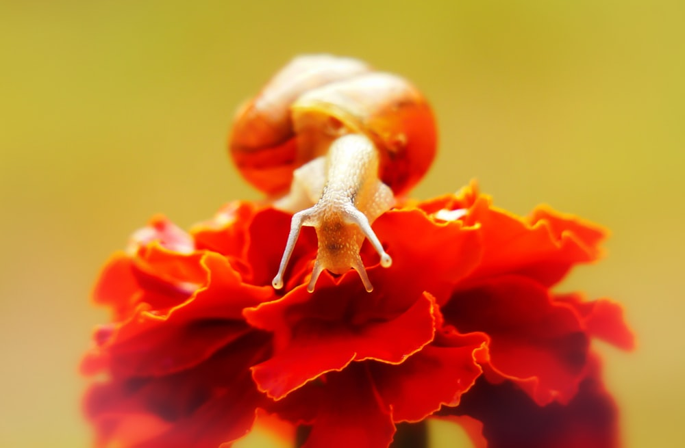 brown snail on red flower