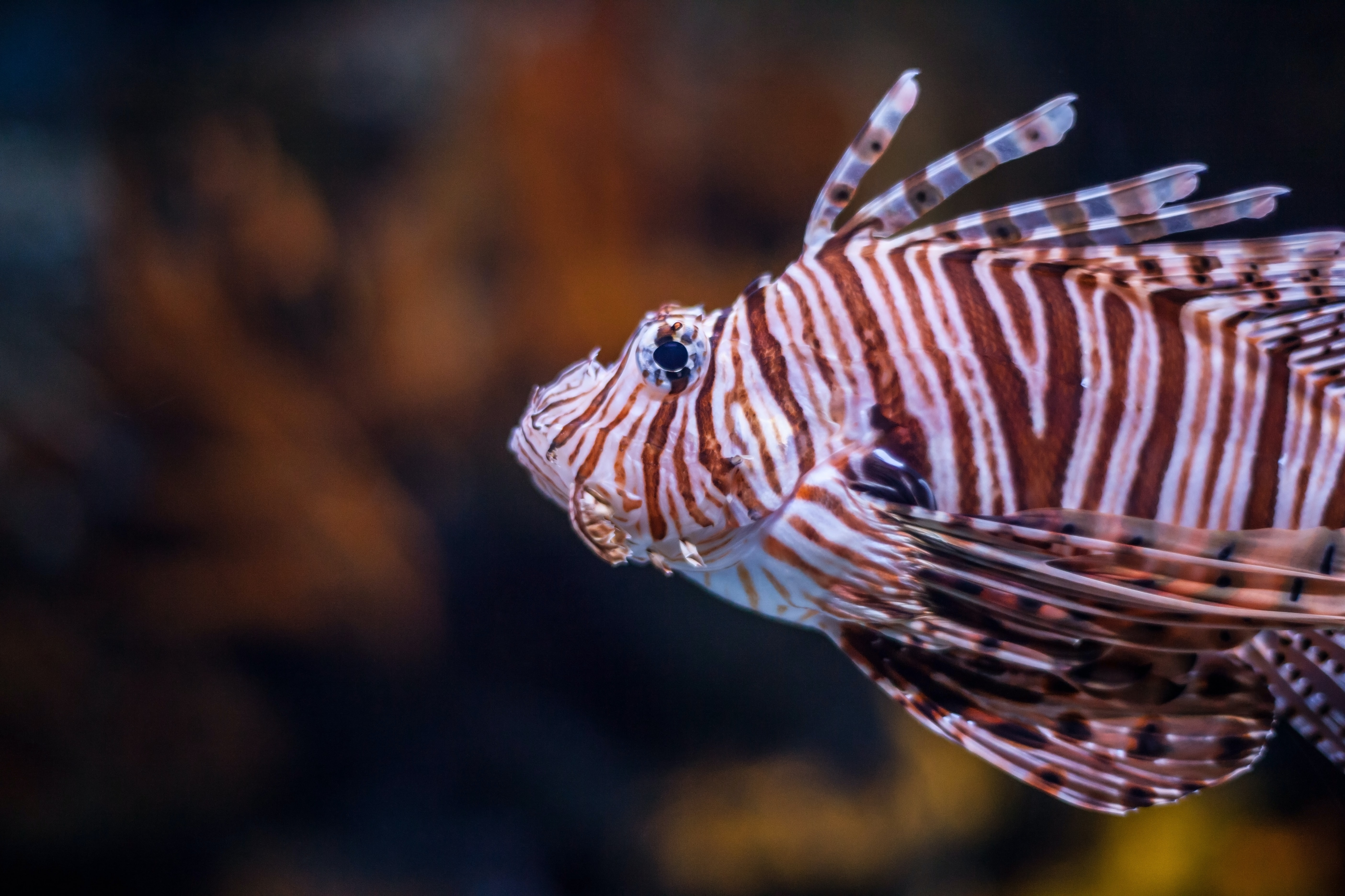 close-up photo of white and brown striped fish