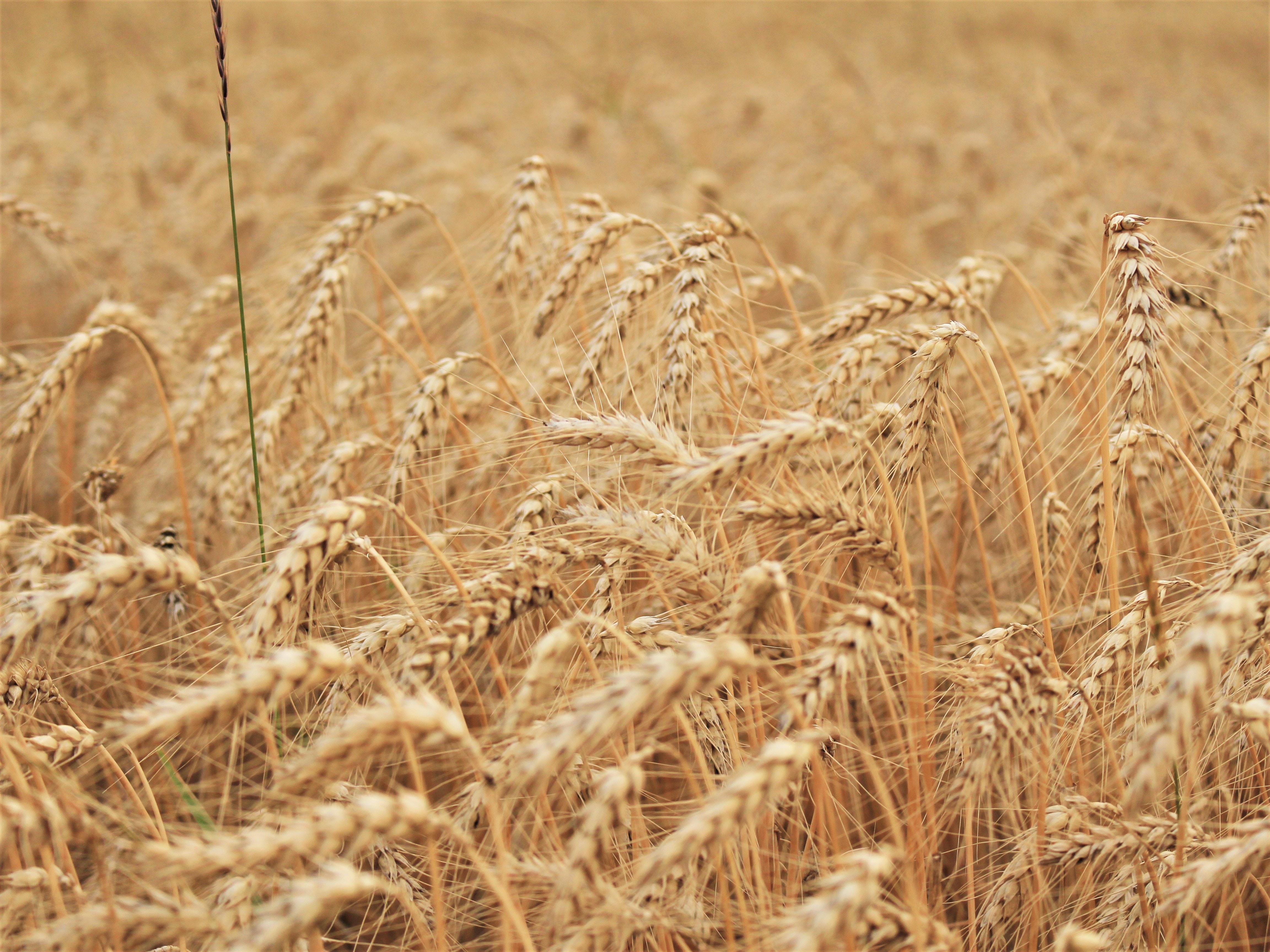 close-up photo of wheat field