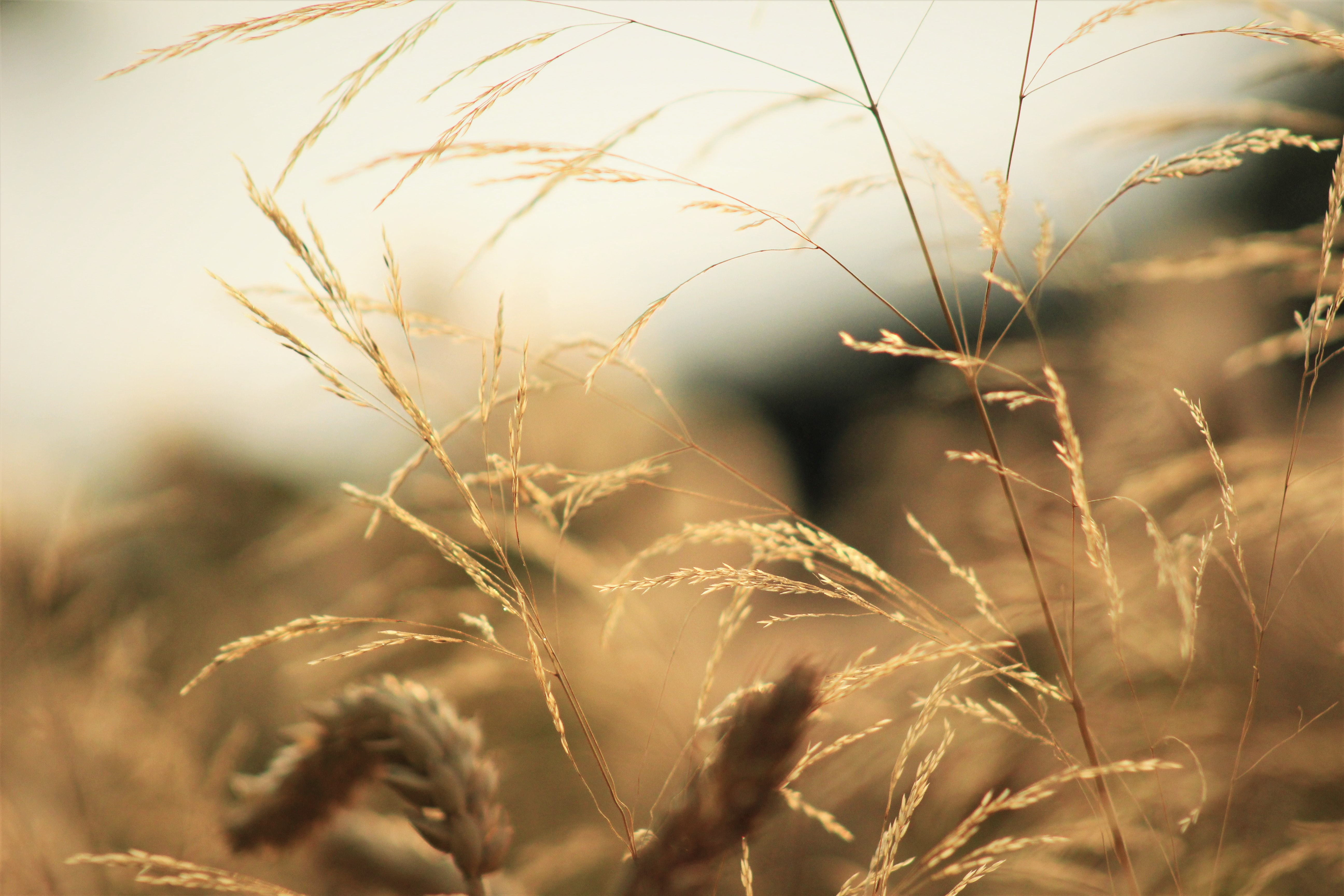 selective focus photography of wheat plant