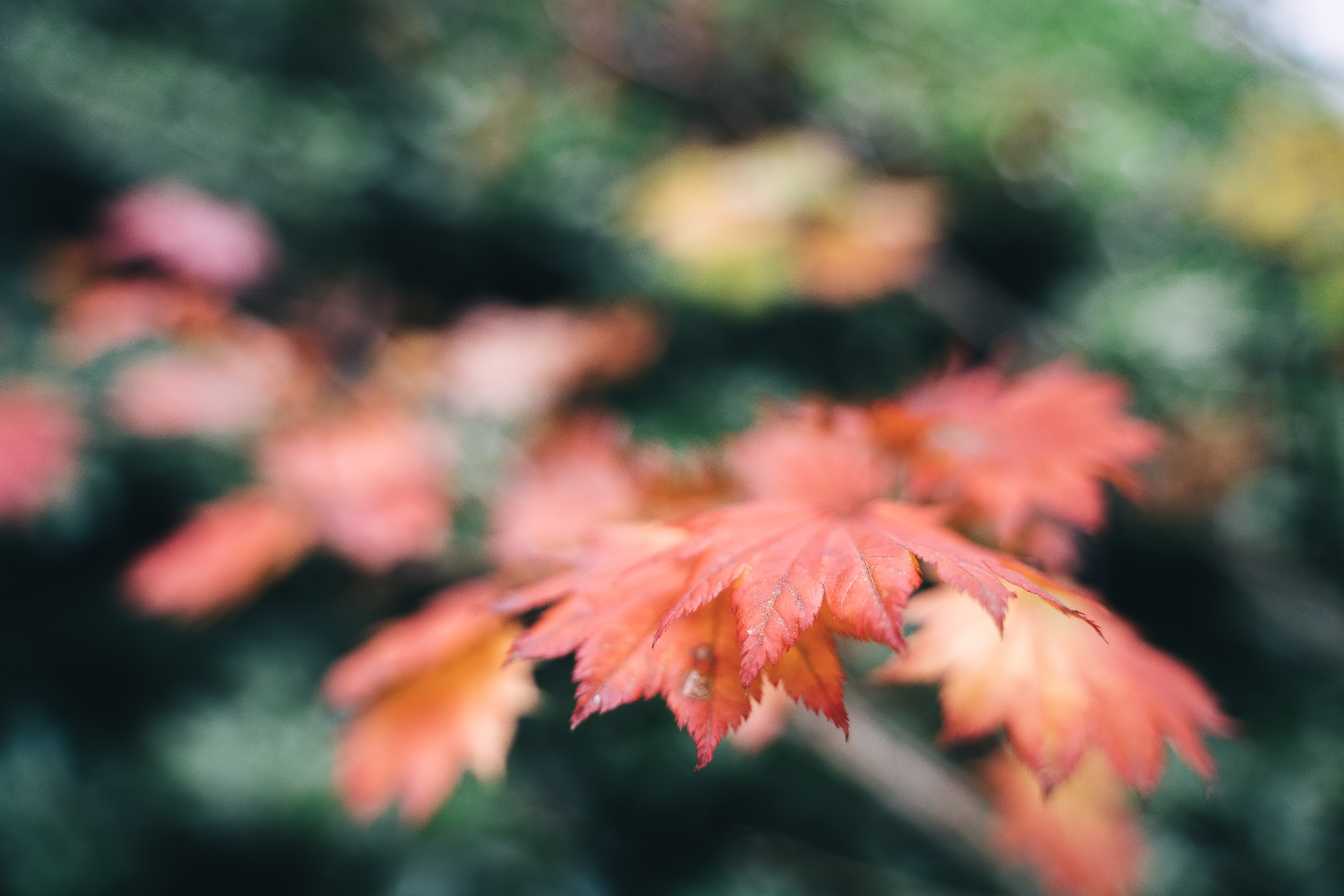 selective focus photography of red maple leafs