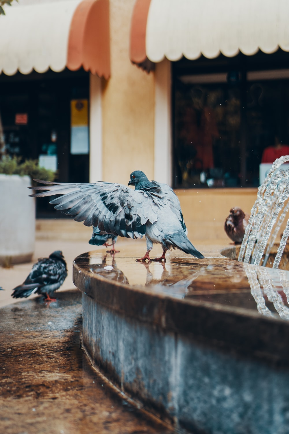 several pigeons beside outdoor water fountain
