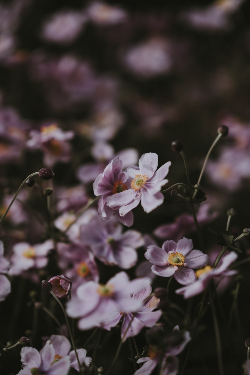 selective focus photography of pink petaled flowers in bloom