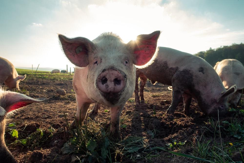 pig pictures download free images on unsplash