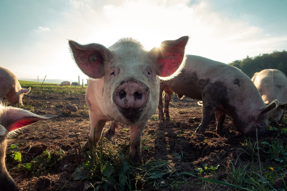 Pig Pictures | Download Free Images & Stock Photos on Unsplash