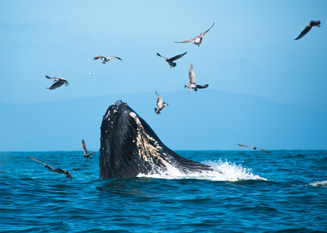 Whales at Moss Landing, California.