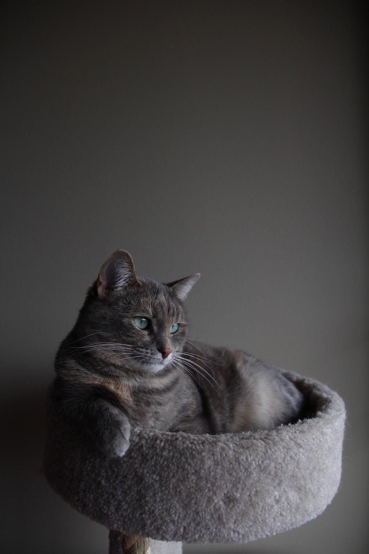 silver tabby cat on gray cat tree inside room