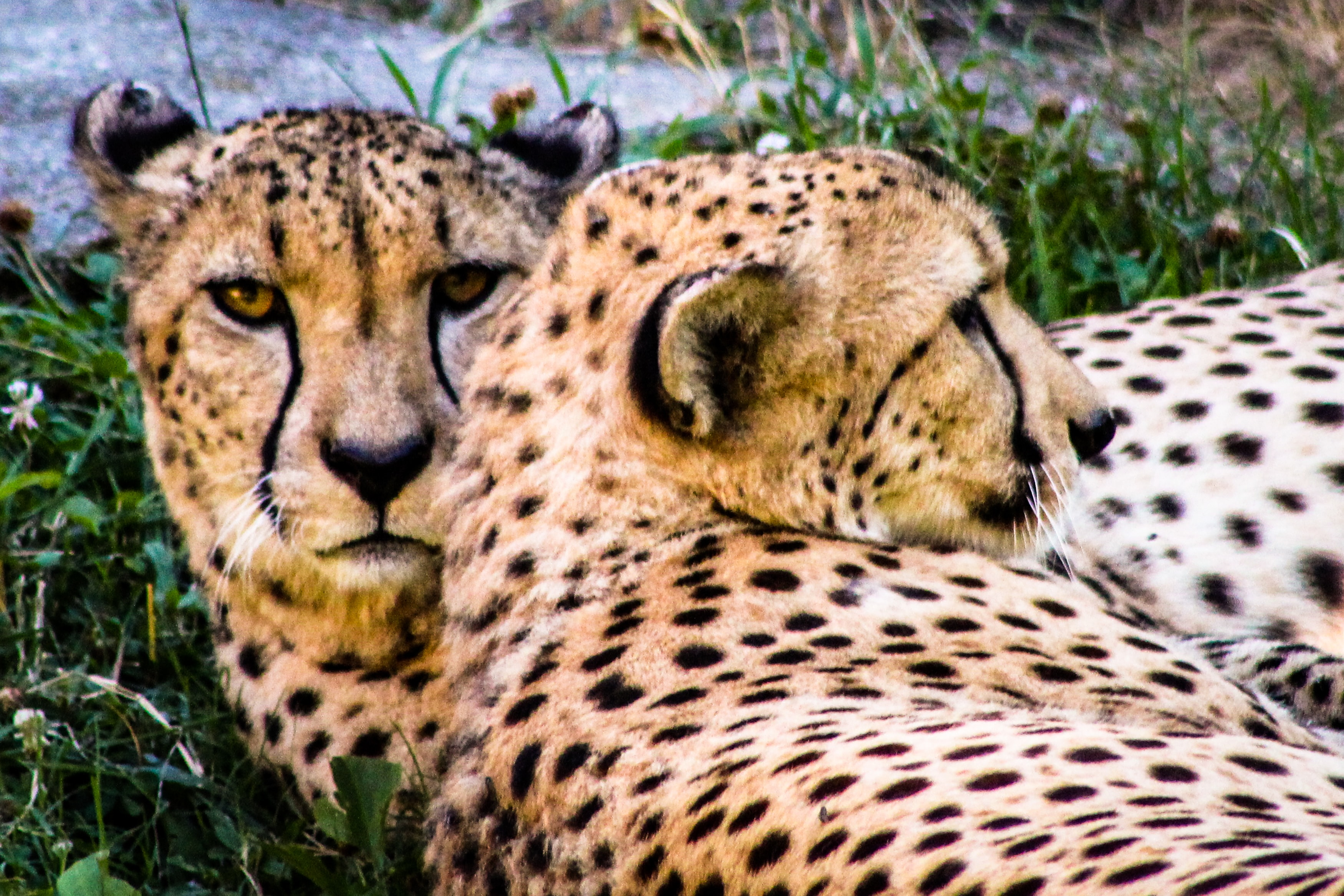 two cheetahs lying on green grass