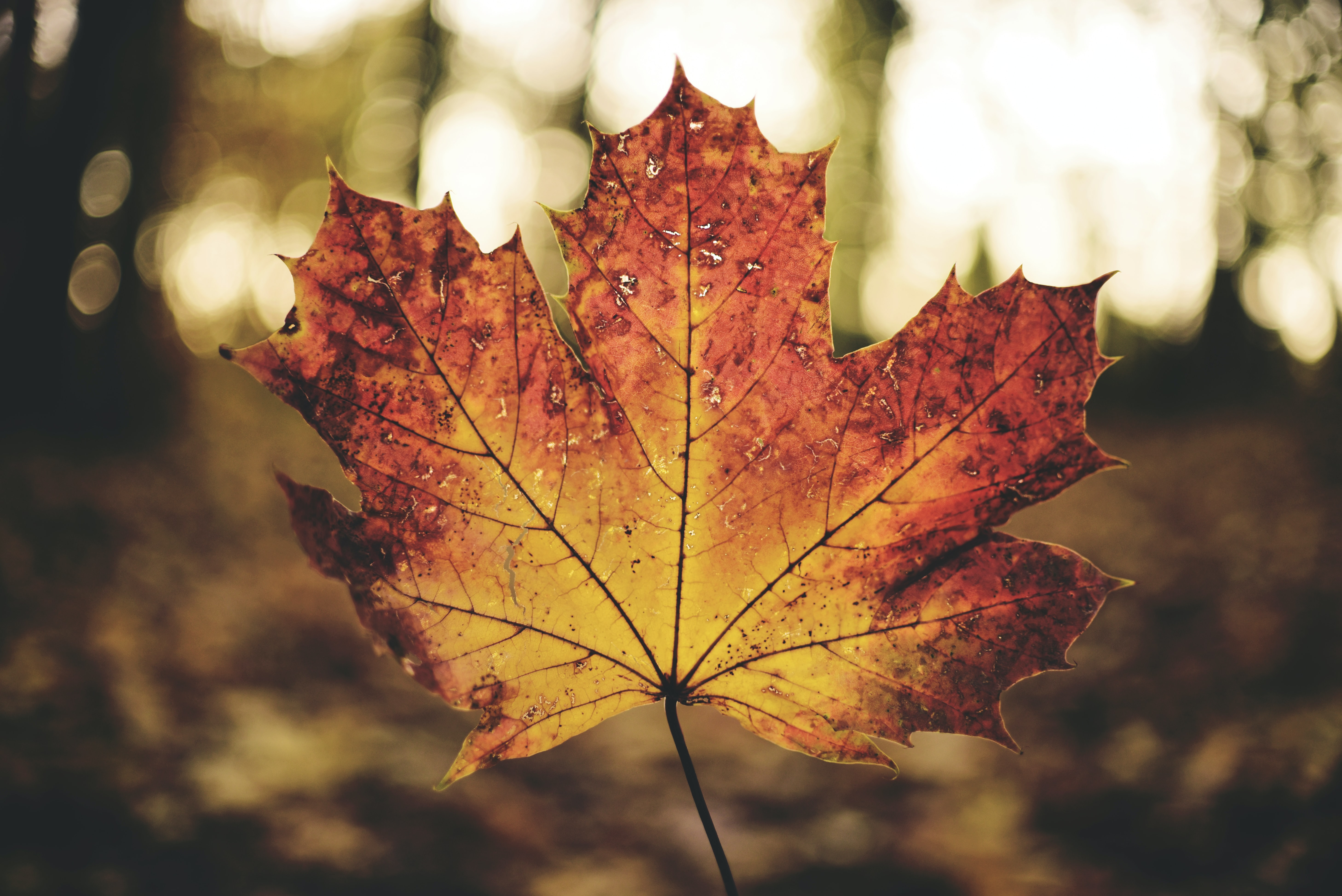 brown maple leaf