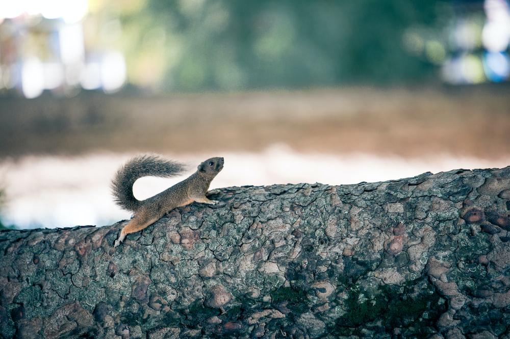 brown squirrel on log