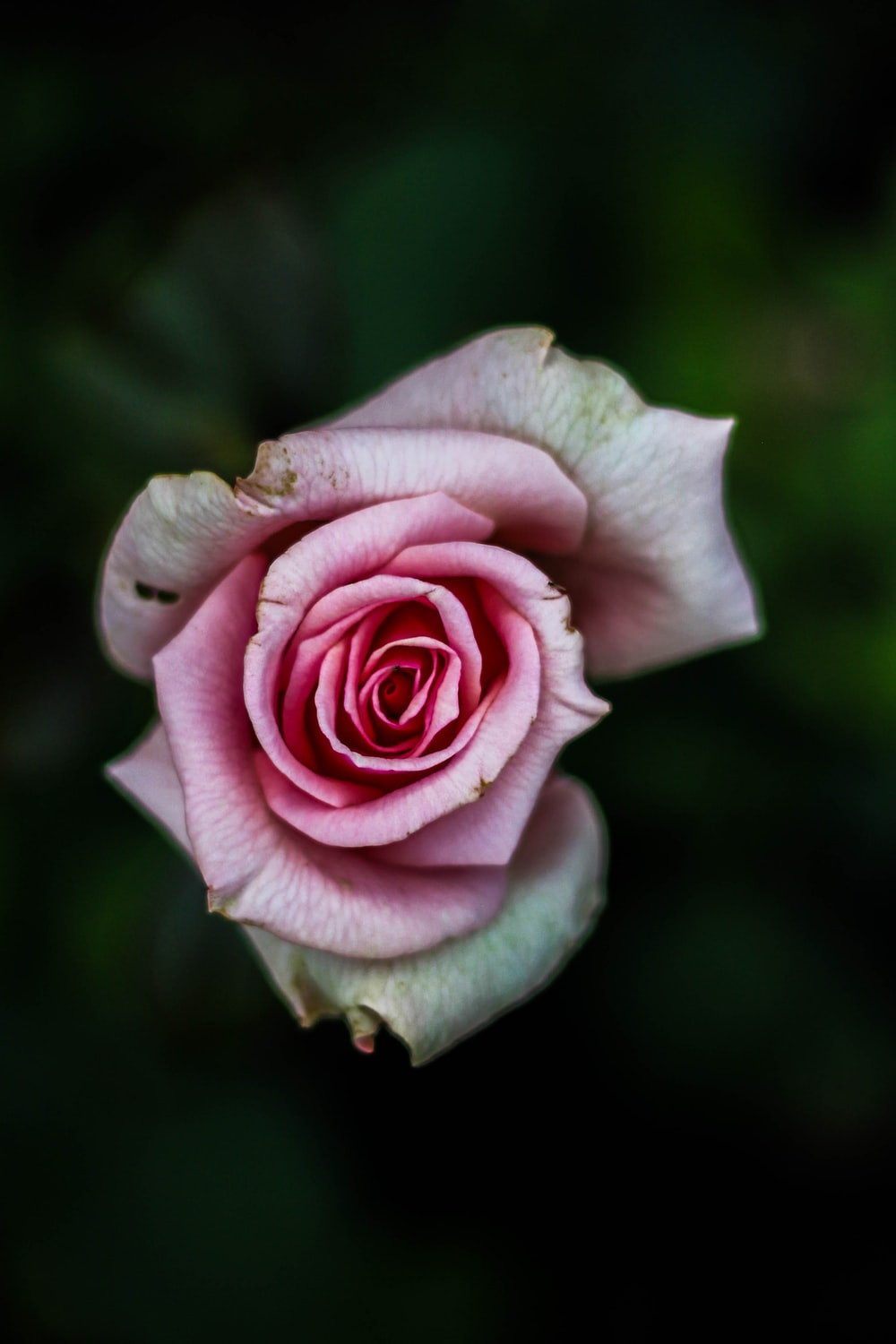 flat lay photography of pink rose