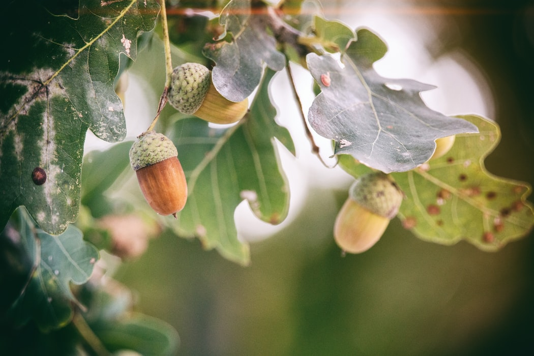 Oak trees do not produce acorns until they are fifty years of age or older.