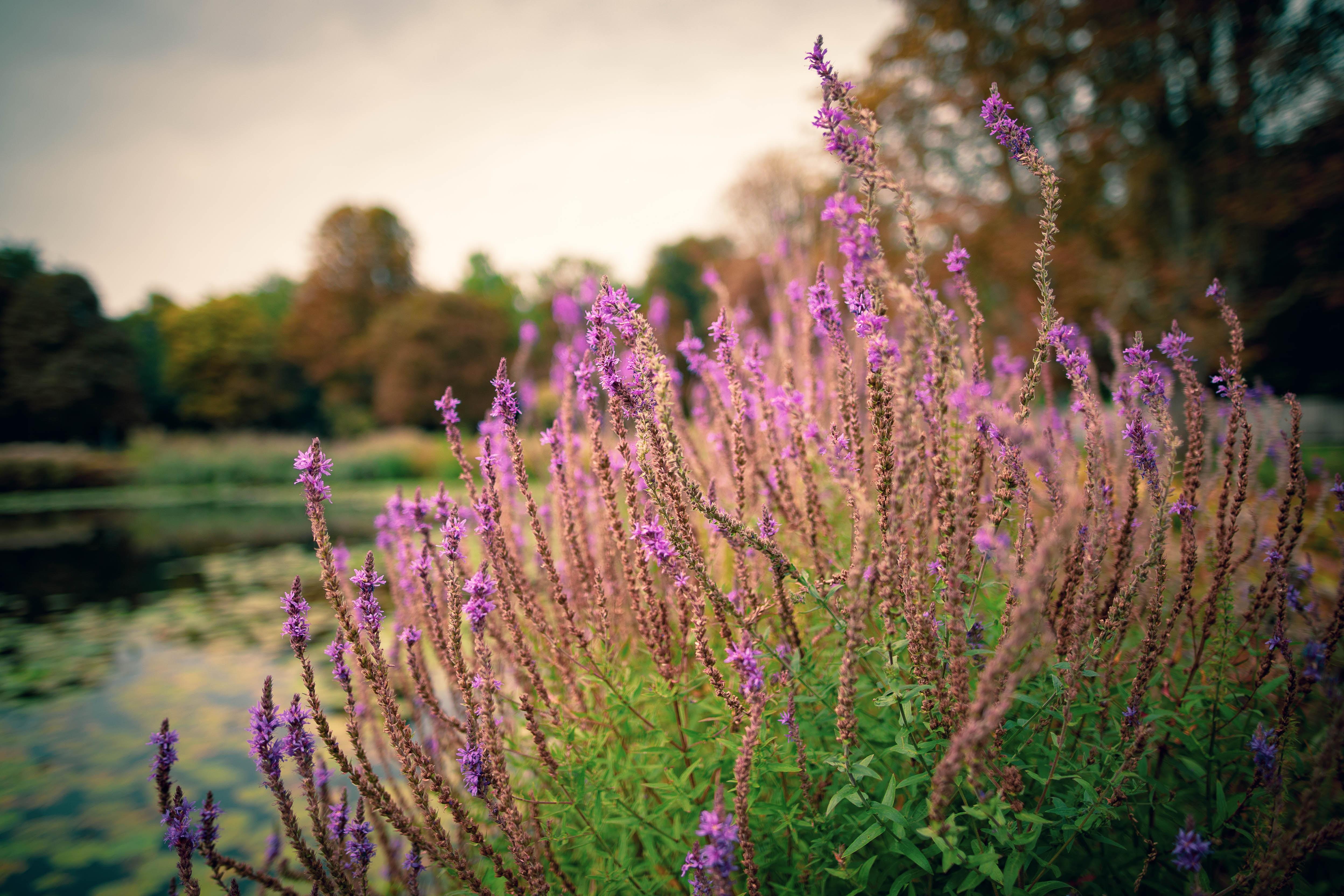 macro photography of purple hyssop flowers