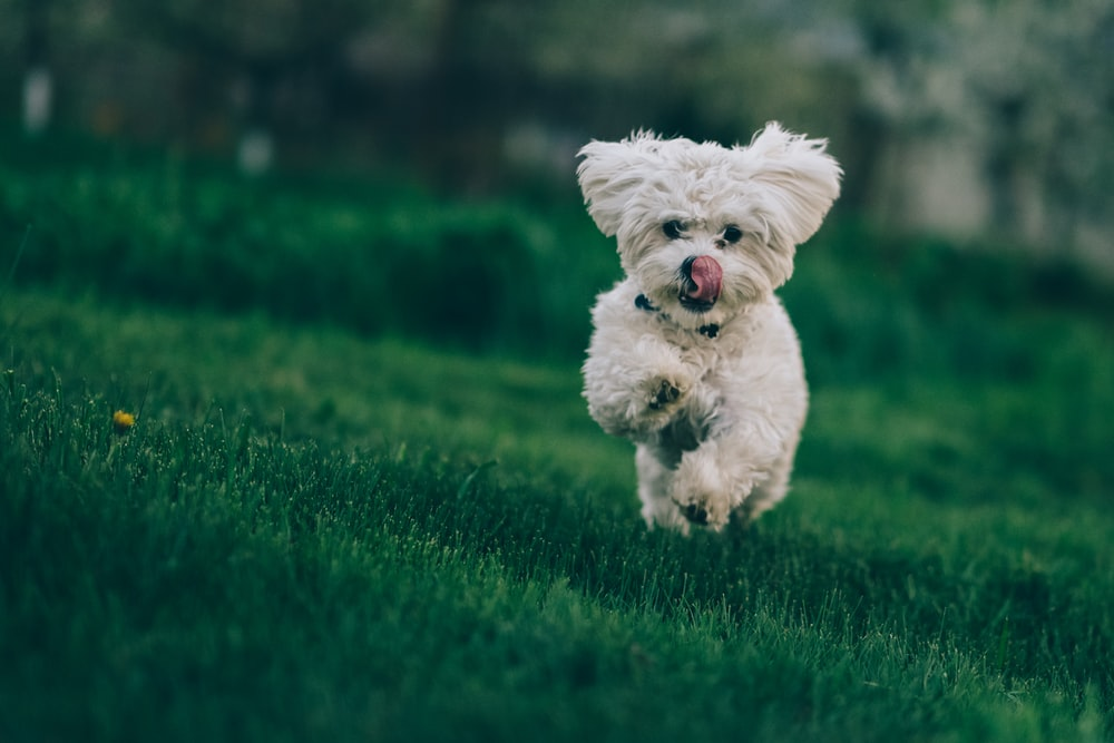 selective focus photography of white dog running on green grass