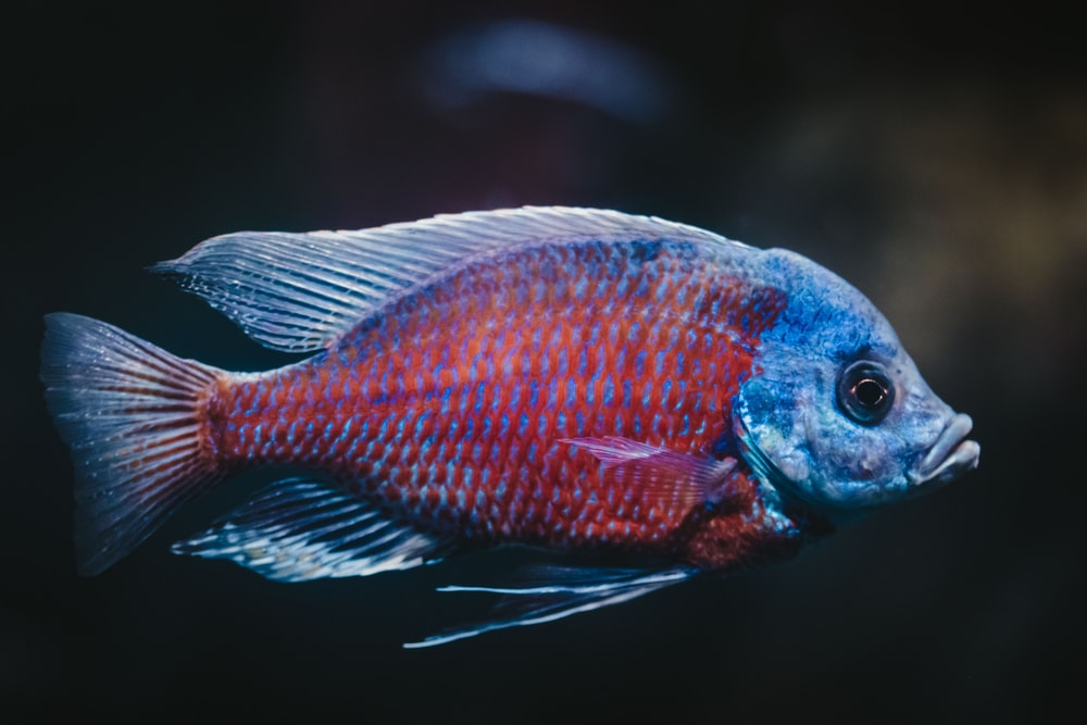 blue and red fish