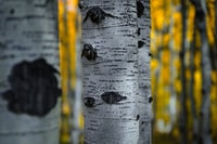selective focus photography of birch tree trunk