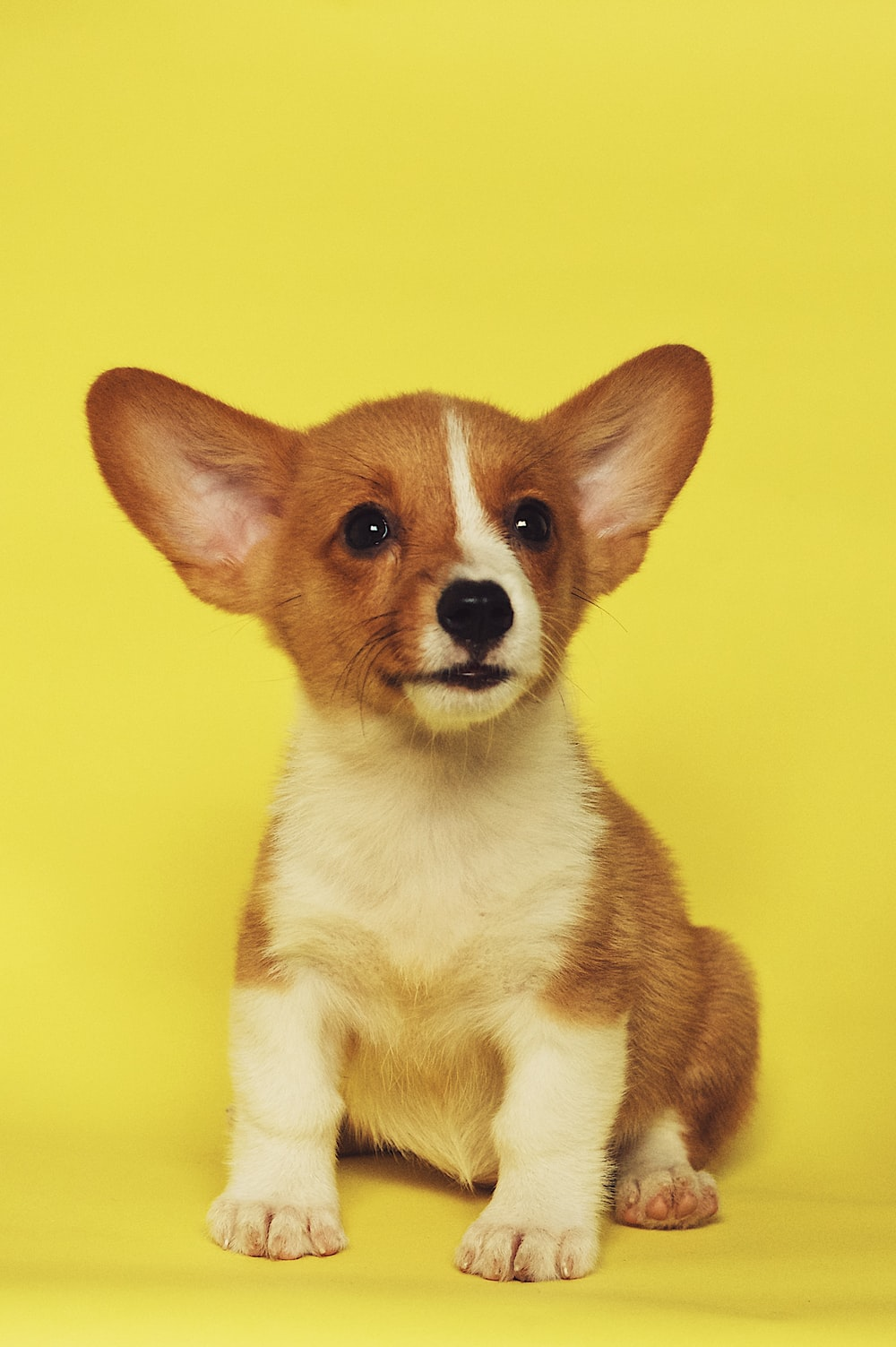 short-coated white and brown puppy sitting on yellow surface