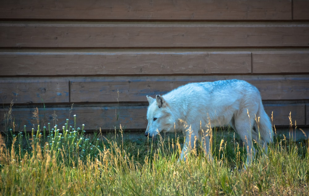 white fox on green grass