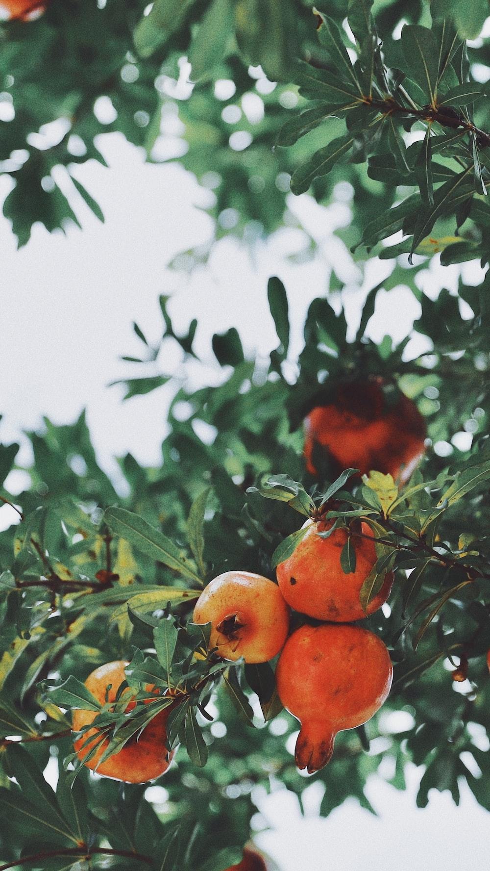 orange fruit on green tree,अनार की खेती