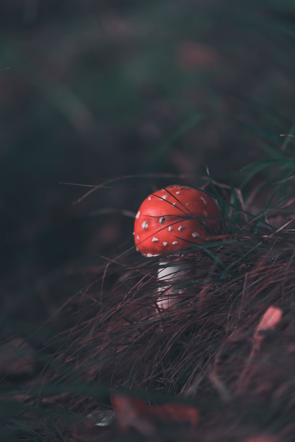 red and white mushroom photography